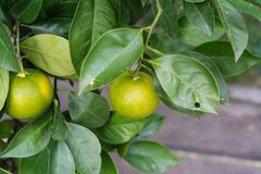 Citrus sinensis plant tree leaves with ripe orange fruit hanging. Citrus sinensis plant tree leaves leaf with ripe orange fruit hanging close up Stock Photo