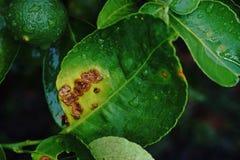 Citrus sjukdom, citrus kräfta, Royaltyfri Bild