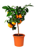 Citrus standard tree Lima rossa Royalty Free Stock Images