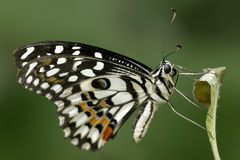 Citrus Swallowtail. Butterfly resting on a leaf stem Stock Photos