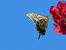 citrus swallowtail Arkivfoton