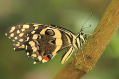 Citrus swallowtail Stock Photos