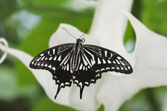 Citrus swallowtail butterfly Royalty Free Stock Photography