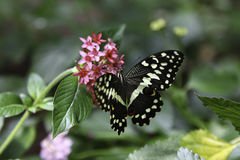 Citrus Swallowtail Butterfly Royalty Free Stock Images