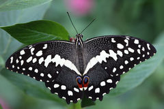 Citrus Swallowtail Butterfly. A Citrus Swallowtail Butterfly is staying on the flower Stock Photography