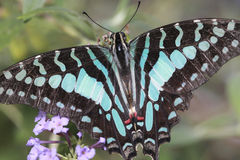 Citrus Swallowtail Butterfly. A Citrus Swallowtail Butterfly is resting on the flower Royalty Free Stock Images