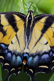 Citrus Swallowtail Butterfly Royalty Free Stock Image