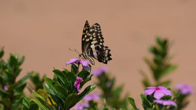 Citrus Swallowtail Butterfly. On a pink flower in Waterberg South Africa stock photos