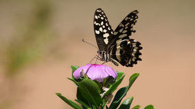 Citrus Swallowtail Butterfly. On a pink flower in Waterberg South Africa stock images