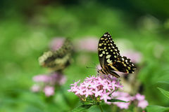 Citrus Swallowtail Butterfly Royalty Free Stock Photos