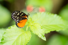 Citrus swallowtail butterfly. On a leaf in a compound in London, UK Royalty Free Stock Photos