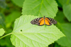 Citrus swallowtail butterfly. On a leaf in a compound in London, UK Stock Photo