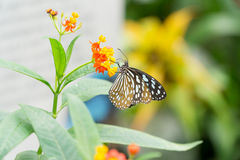 Citrus swallowtail butterfly. On a leaf in a compound in London, UK Stock Photos
