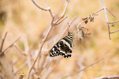 Citrus Swallowtail butterfly sitting on twig. Side view royalty free stock photography