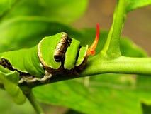 Citrus Swallowtail fjärilslarv 1 Arkivbild