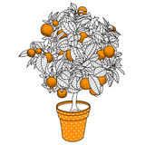 Citrus tangerine, orange or lemon citrus tree in a pot. In contour drawing style. Usage for ecology, nature, garden, plants, fruits themes vector illustration