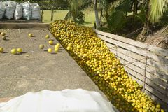 Citrus trailer in Belize being loaded with oranges royalty free stock image