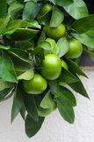 Citrus tree. Green tangerine on the tree Stock Photo