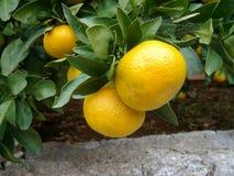 Citrus tree Royalty Free Stock Photos