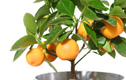 Citrus tree Royalty Free Stock Images