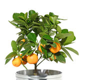 Citrus tree Stock Photography