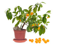 Citrus tree Stock Images
