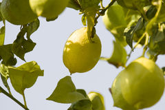 Citrus tree Royalty Free Stock Photo