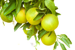 Citrus tree Royalty Free Stock Photos
