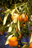 Citrus tree Royalty Free Stock Photography