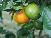 Citrus tree. Florida citrus crop. Oranges stock photography