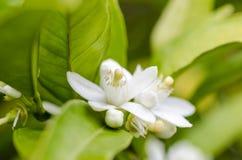 Citrus tree flower, azahar blossom. Royalty Free Stock Photos