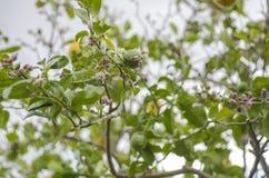 Citrus tree flower, azahar blossom. Stock Photos