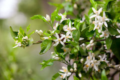 Citrus tree flowers Royalty Free Stock Photo