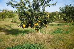 Citrus tree in a fruit orchard on a farm. With a crop of ripening clementines or mandarin oranges stock photography