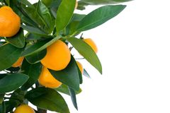 Citrus tree with fruit - small orange royalty free stock photo