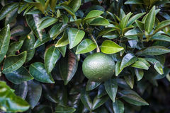 Citrus on the Tree Stock Images