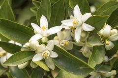 The Orange tree blossom, flower royalty free stock photos