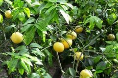 Citrus Tree Stock Photos