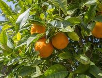 Citrus tree Stock Image