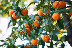 Citrus tree in orchard. Branch of citrus tree in orchard royalty free stock images