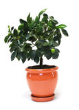 Citrus tree in the pot Stock Image