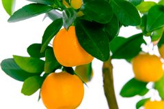 Citrus tree with tangerines - MACRO. Beautiful citrus tree with orange fruit on branches stock images
