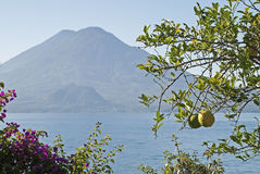 Citrus tree with volcano Stock Images