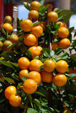 Citrus Tree With Ripe Tangerines Royalty Free Stock Images