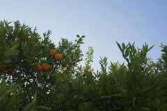 Citrus trees on beautiful hot summer day on Cyprus Stock Photos