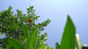 Citrus trees on beautiful hot summer day on Cyprus. Tangerine trees on a beautiful summer day on Cyprus stock video footage