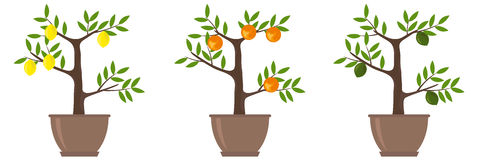 Citrus Trees. Flat design,  illustration Stock Images