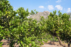 Citrus trees in orchard in Sicily in summer. Agricultural tourism in Italy - citrus trees in orchard in Sicily in summer day royalty free stock photography