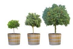 Citrus trees in pot. Three citrus trees in pot stock photography