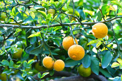 Citrus trifoliata Stock Images